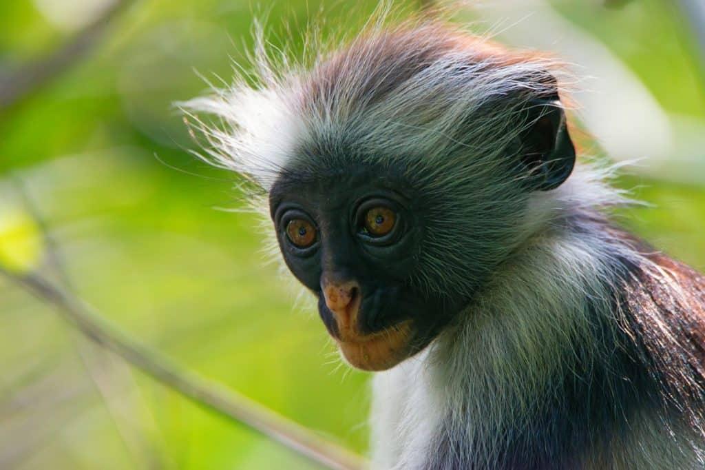 القرود النادرة في غابة جوزاني