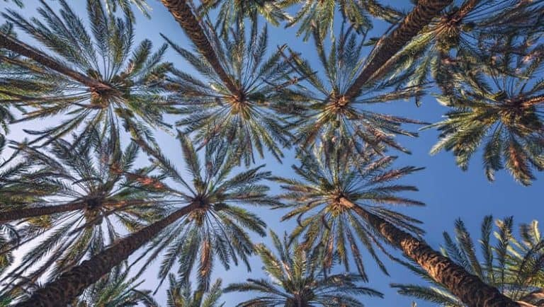 palm trees in AlUla's Oasis